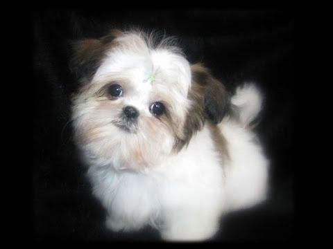 Cute Dog Wallpapers Fot Google Teacup Shih Tzu Puppies Cute Shihtzu Pups Playing Cutiest