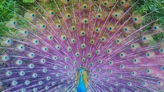 Hundreds of Peacocks.... Color EXPLOSION... beautiful