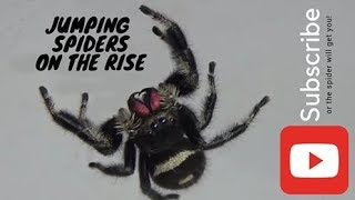 Basic Jumping Spider Care