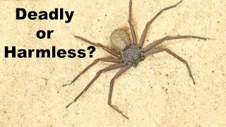 DEADLIEST SPIDER ON THE PLANET... is a Total Wimp?