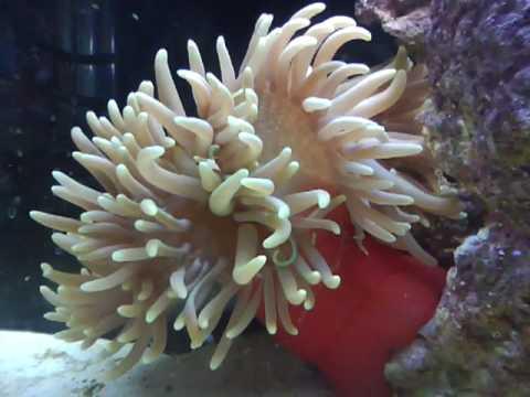 Green Long tentacle anemone  YouTube