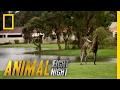 It's a Kangaroo Fight! | Animal Fight Night
