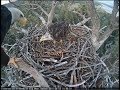 Big Bear Eagle Cam ~ Shadow & Mrs BB Continue To Work The Nest Part Two 8.13.18