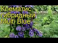 Клематис гибридный Multi Blue. Краткий обзор, описание характеристик, где купить крупномеры, саженцы