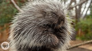 Porcupines Give You 30,000 Reasons to Back Off | Deep Look