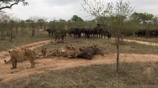 Lions vs Buffalo!