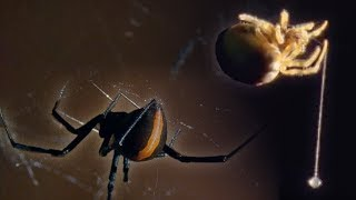 Red Back Spider | Attenborough: Life in the Undergrowth | BBC Earth