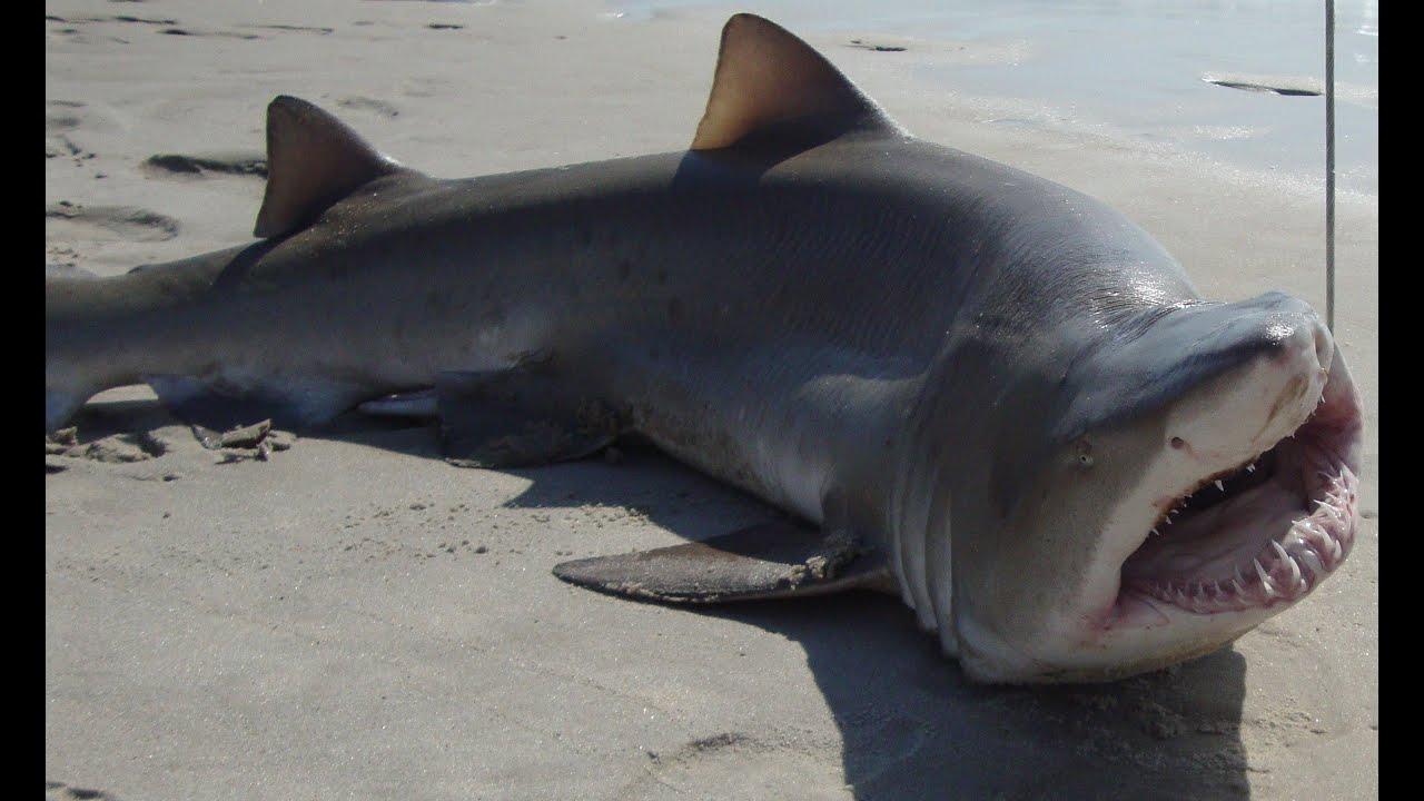 Bull Shark River Caught