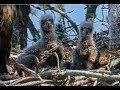 Smola Norway WTE Cam ~ Amazing Closeups ~ Eaglets Three Weeks Old 5.18.19