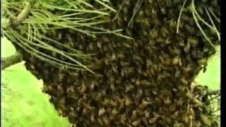 El veneno de las abejas y sus beneficios