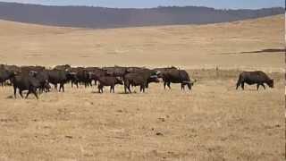 Ngorongoro Crater Lion vs Buffalo