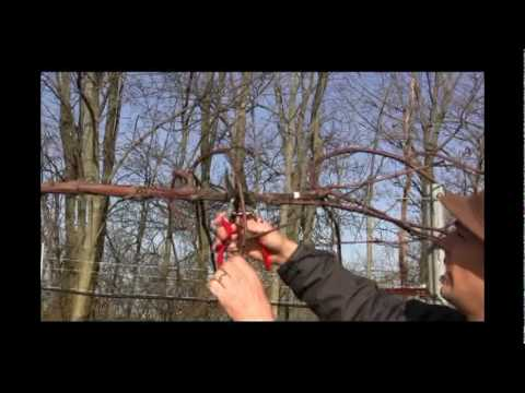 Grape Vine Pruning in Late Winter and Early Spring
