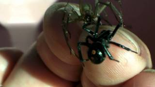 Brown Recluse and Black Widow on my hand at the same time