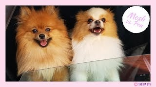 Difference between my male and female pomeranians