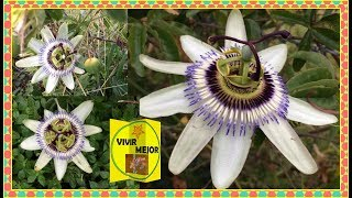 Beneficios de la infusión de hojas de Maracuyá para la salud, #10a