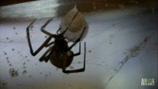 Brown Widow Spiders Invade   Infested!