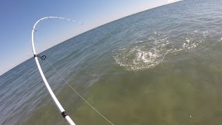 Topwater Stripers Tight to Shore, + Tog Fishing