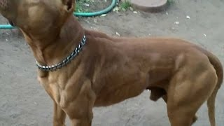 O poder do Pit Bull - The pit bull dog power (NEW) [3]