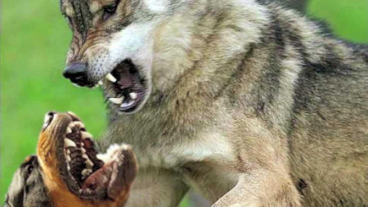 Vs Real Fight Pitbull Wolf