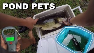 BIGGEST Largemouth Bass Pond Pet EVER! *REVENGE of THUMP*
