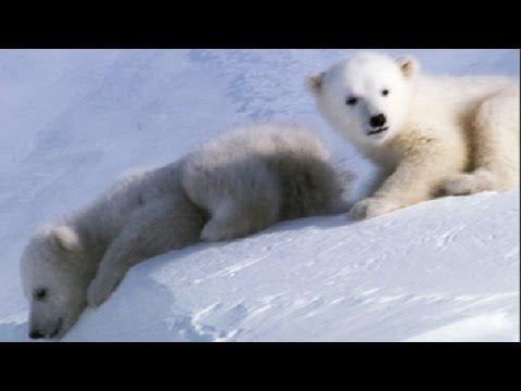 Cute Baby Bears Wallpaper Cool Cute Cubs Amazing Animal Babies Polar Bear Cubs