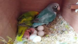 Black Cheeked Lovebird chick in nest
