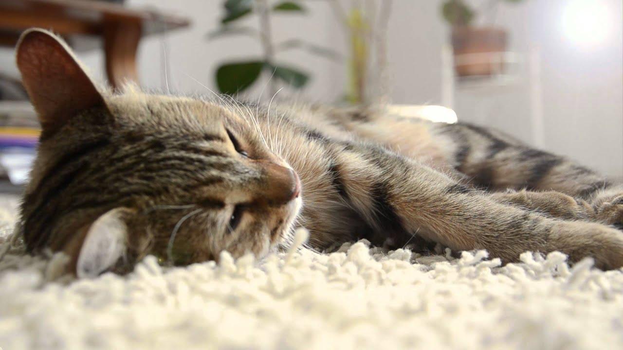 Cute And Funny Cat Wallpaper Cute Sleeping Cat Purring Hd Youtube