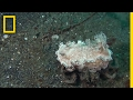 Watch a Crab Kidnap a Sea Slug to Avoid Being Eaten | National Geographic