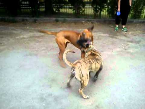 Established in 1998, cabeza grande kennel is a small, dedicated kennel interested in improving the state of the presa canario in the united states. Tosa Inu vs Dogo Canario - YouTube
