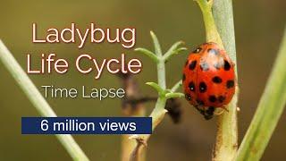Time Lapse of Ladybug Life Cycle