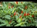 How to grow Chilli Peppers with Thompson & Morgan
