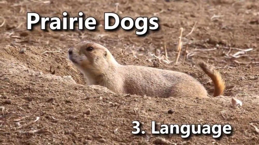 medium resolution of prairie dog burrow diagram prairie dog map prairie dog tunnel diagram