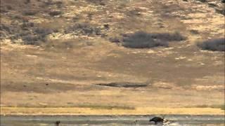 Ngorongoro Crater - A pride of lions attack buffalo - Part 2 (Buffalo)