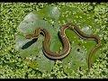 İstanbul Ömerli barajı yılanlar kurbağa avlıyor