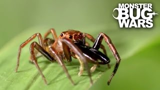 Green Jumping Spider Vs Long Jawed Jumping Spider | MONSTER BUG WARS