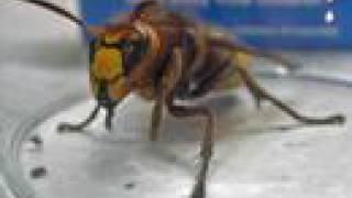 Giant Killer Hornet in Norfolk, UK