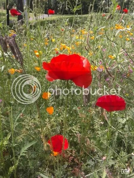 photo poppies_zps91f1c6ad.jpg