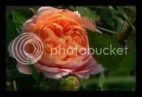 Trandafirul bujor