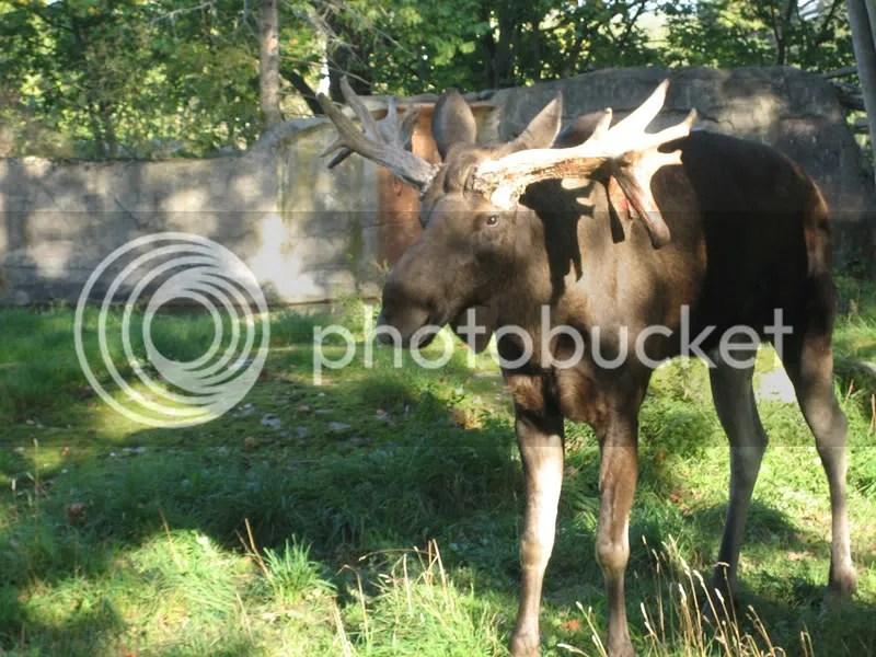 Skansen Moose