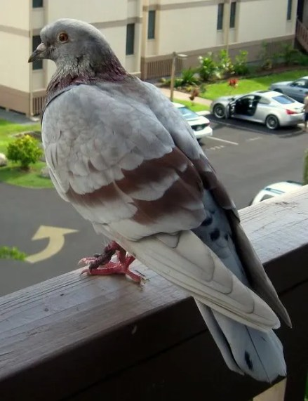 Rock Pigeon on the Lanai