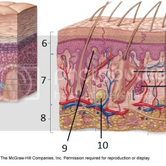 Skin Layers Diagram Labeled Simple Sony Cdx Gt71w Wiring Structures Of Labeling Quiz By Caderyn21 Photo And Epidermis Zpsld1iqqa2 Png