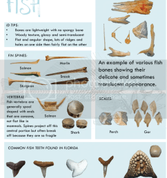for images of bones from reptiles commonly found at archaeological sites in florida check out these websites alligator skeleton  [ 883 x 1024 Pixel ]