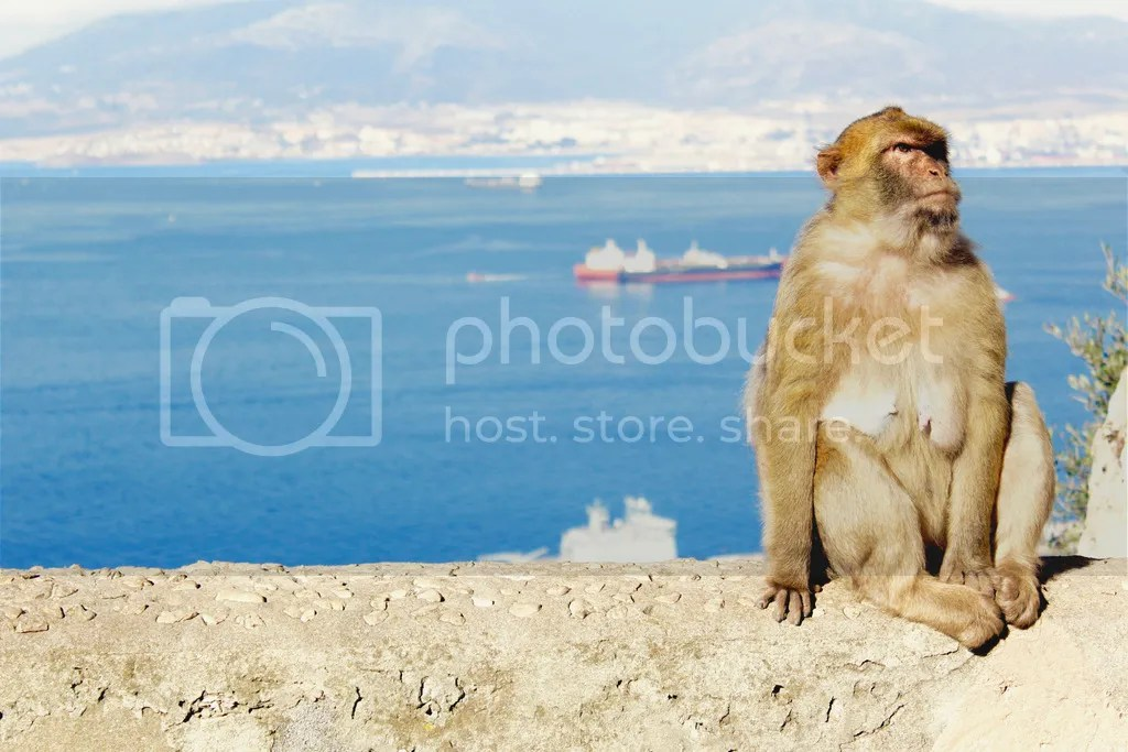 photo Barbarymacaque3_zpsh1xhroe0.jpg