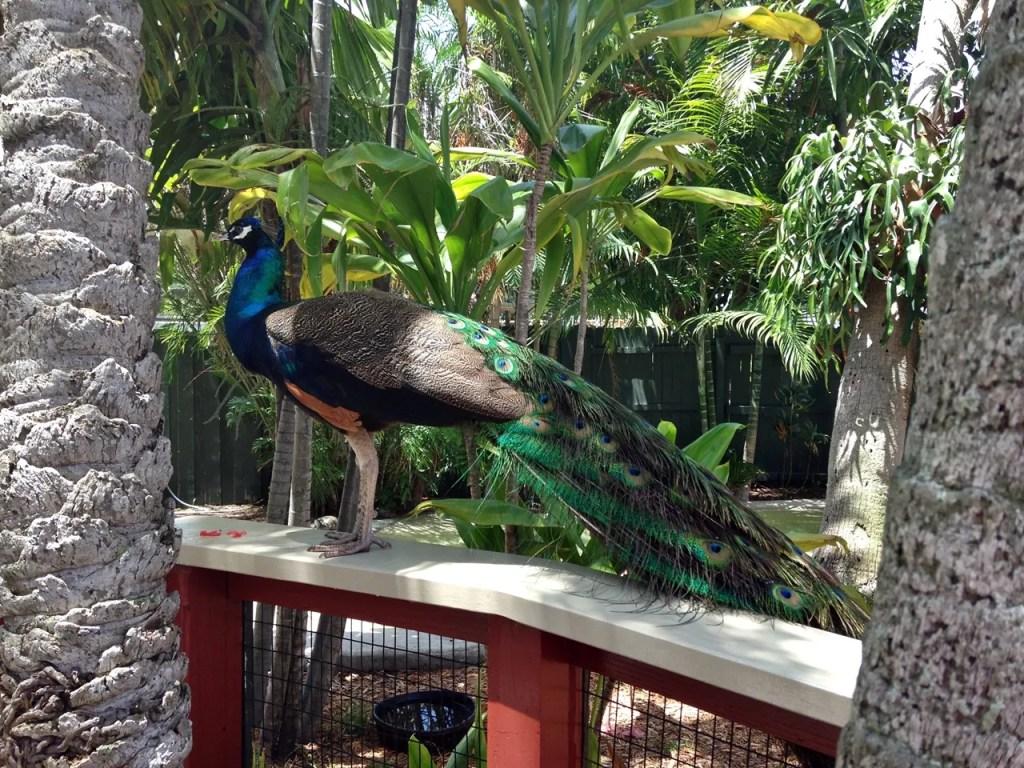 Peacock Miami Seaquarium