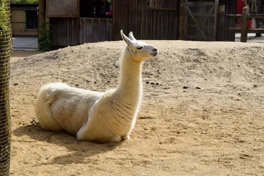 Llama at London Zoo