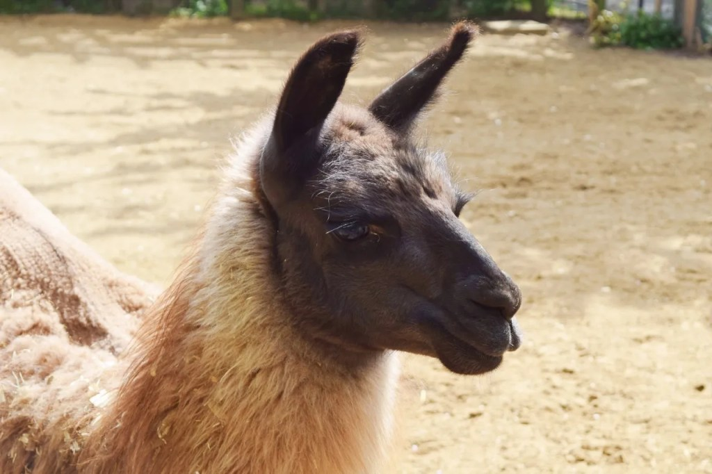 Llama at London Zoo | The LDN Diaries