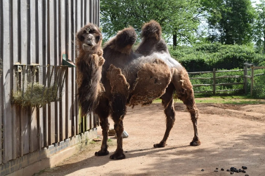Camel At London Zoo | The LDN Diaries