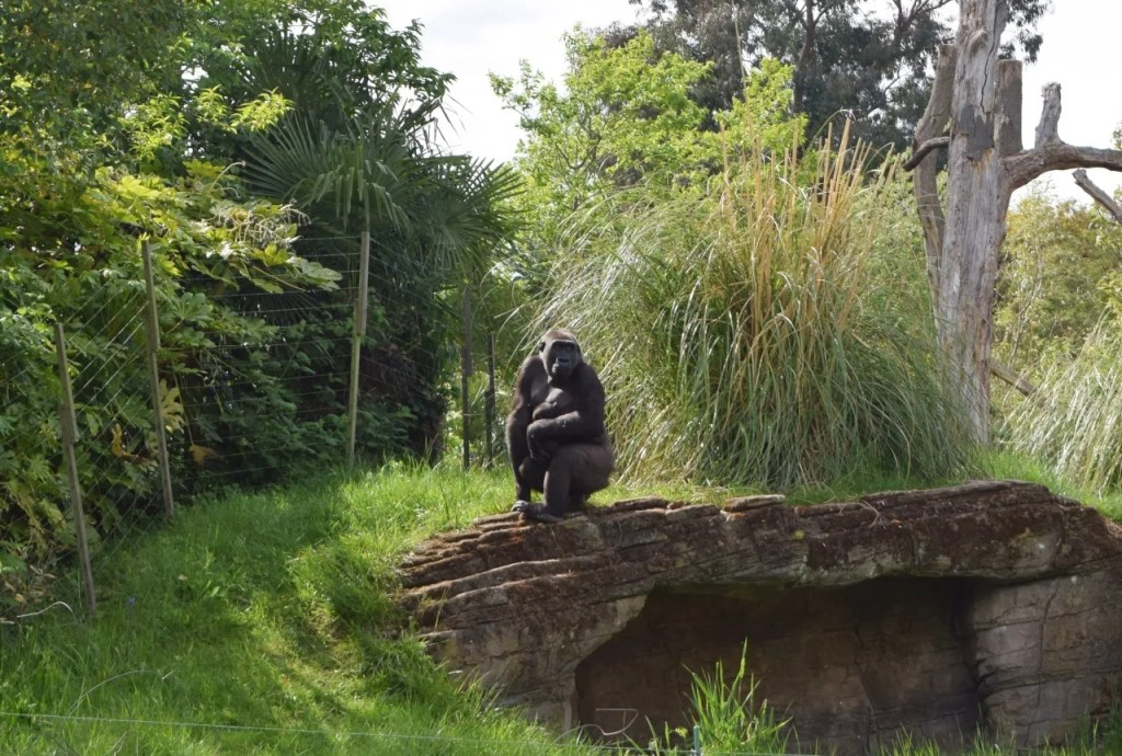 Gorilla at London Zoo | The LDN Diaries