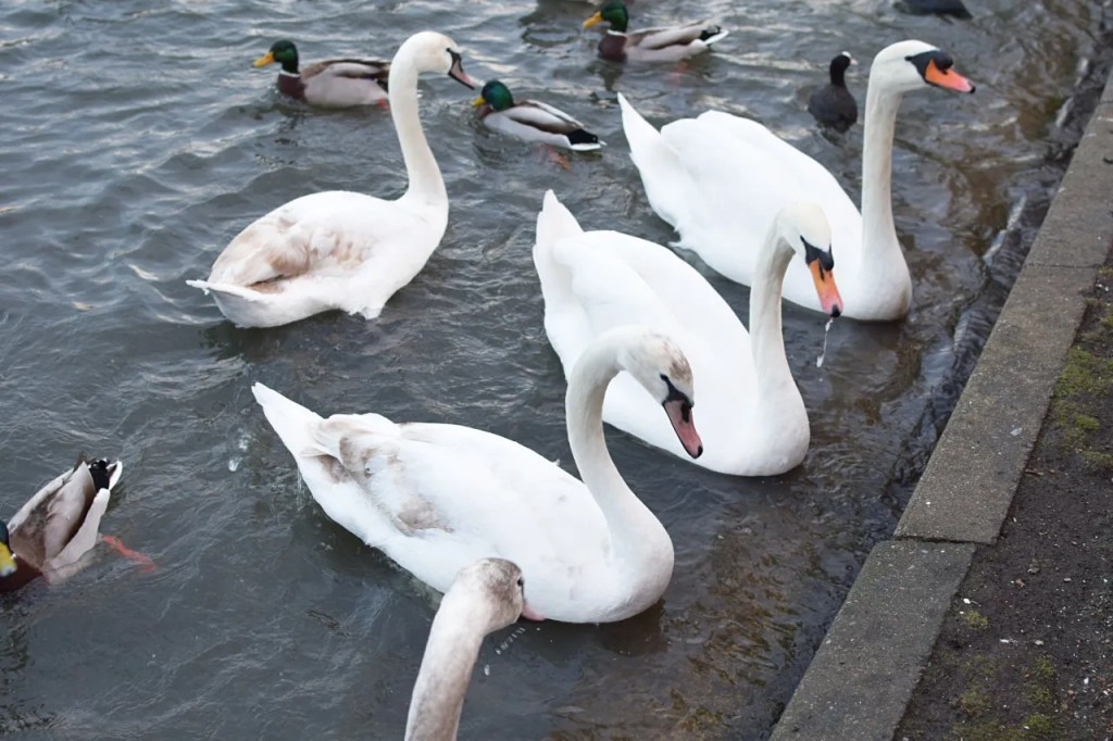 Swans in Kensington Gardens