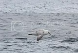photo seagull dalvik harbour 01_zps4gk0bqsh.jpg